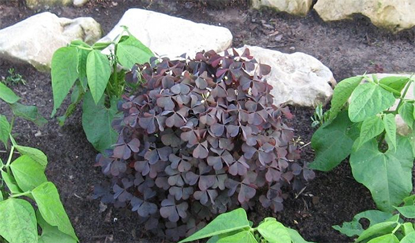 Выращивание кислицы в домашних условиях