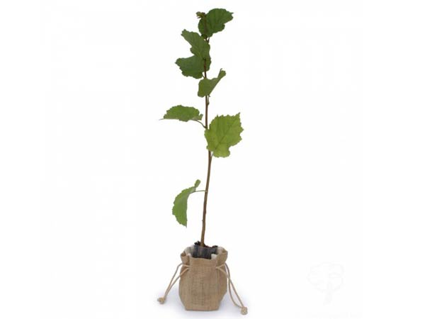 Выращивание фундука Как вырастить фундук
