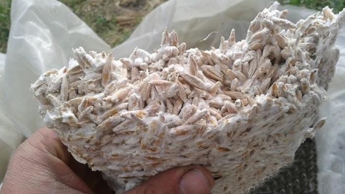 Мицелий вёшенки своими руками