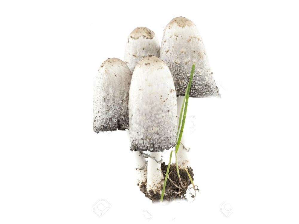 Как выглядит гриб навозник