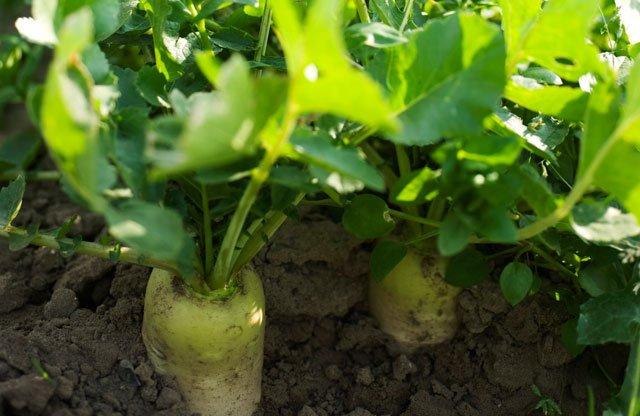 Пастернак овощ выращивание 58
