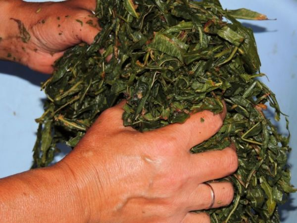 Иван чай ферментация в домашних условиях через мясорубку 799