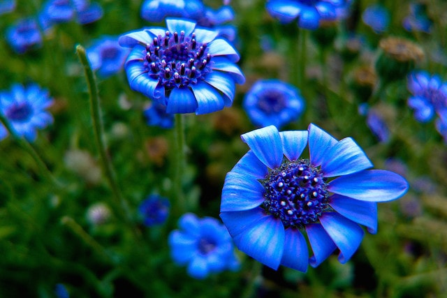 Фелиция цветы выращивание 54