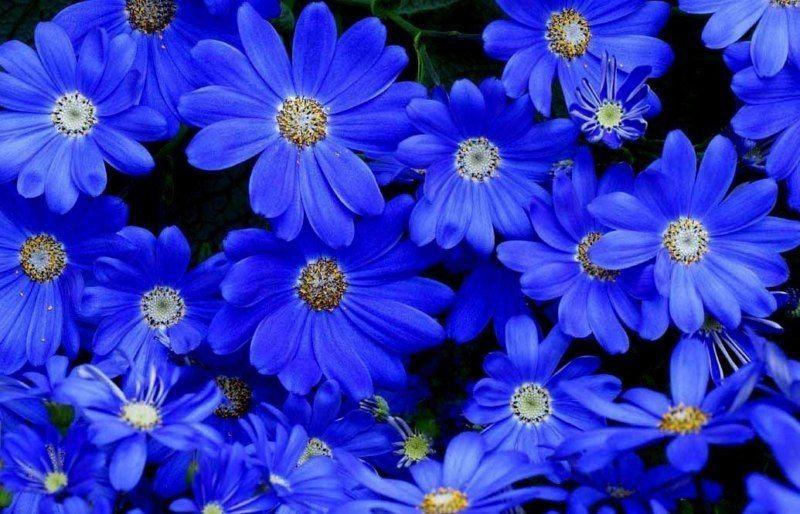 Фелиция цветов