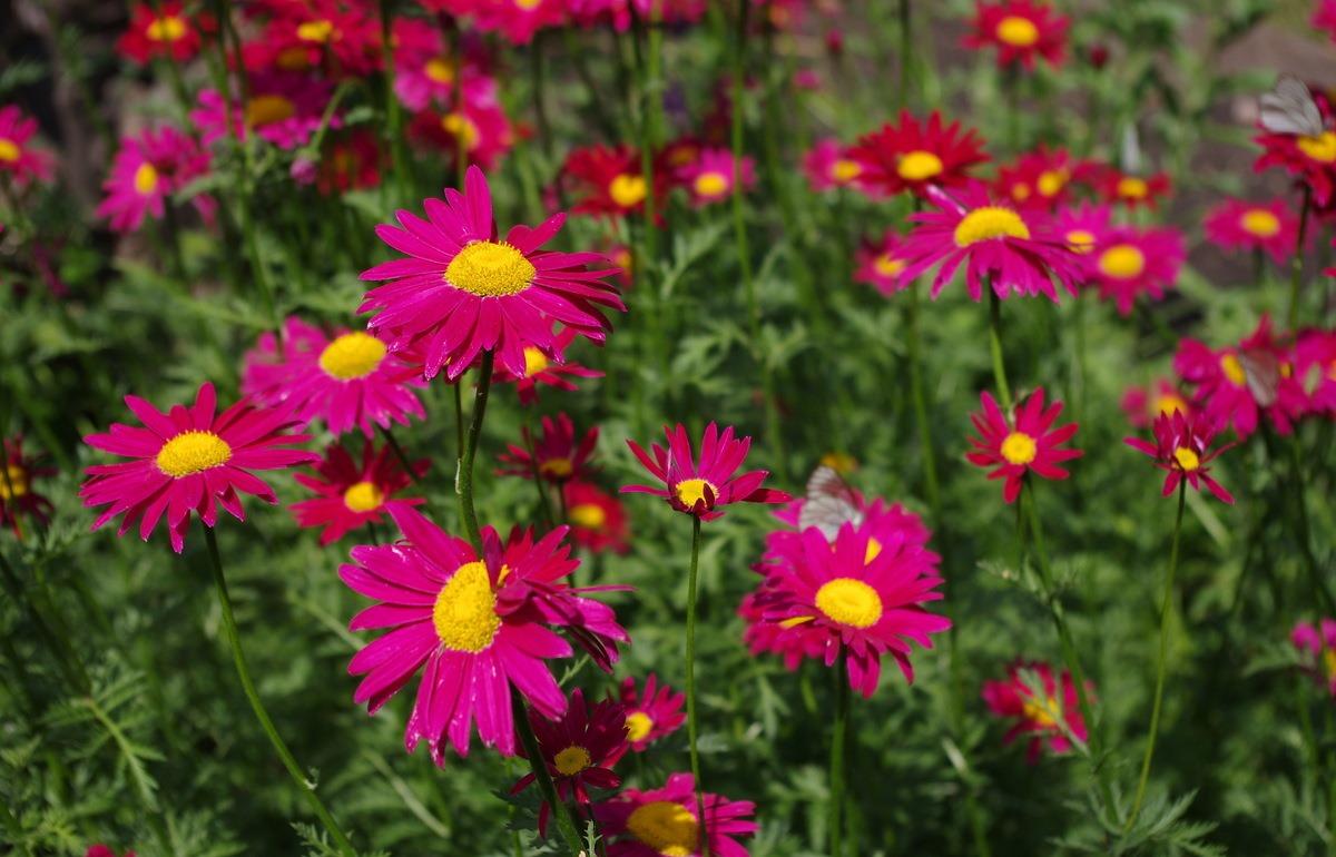Название цветка ромашкой