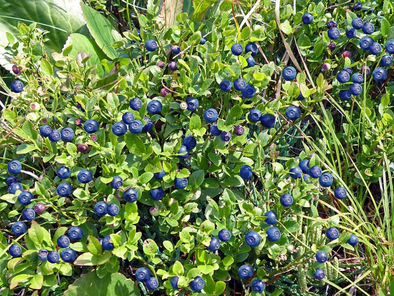 Где растет черника? 16 фото В каком месяце созревают ягоды в лесу, правила сбора, когда собирают