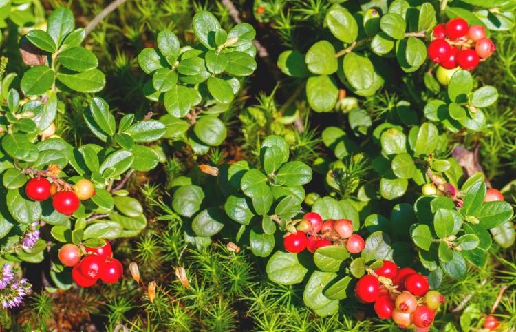 Как растт клюква в природе фото