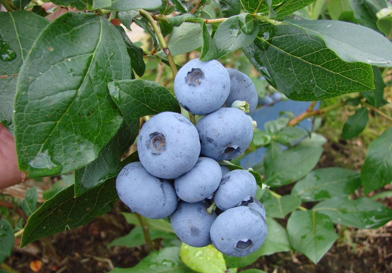 Голубика «Бонус» (17 фото): описание сорта и его особенности, сложно ли разводить эту разновидность высокорослой ягоды, отзывы садоводов