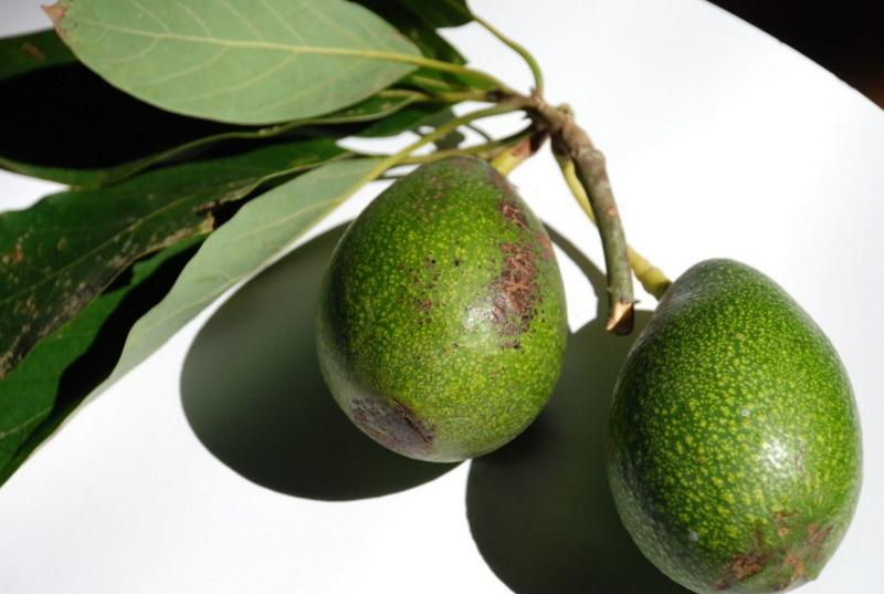 авокадо противопоказания