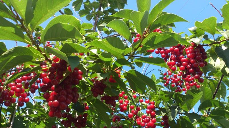 Черемуха Колората: описание, это дерево или кустарник, с красными листьями