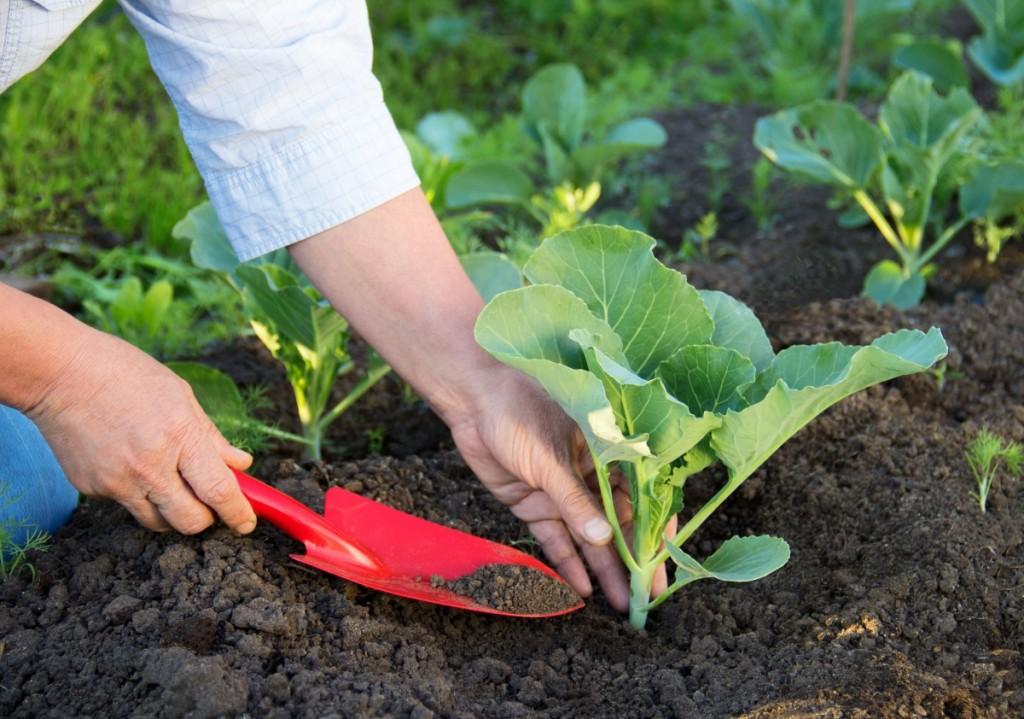 Как сажать капусту в открытый грунт правильно: сроки и расстояние