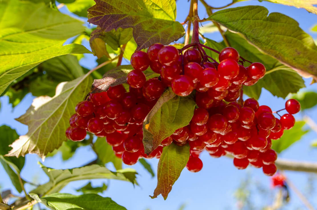 Калина ягода полезные свойства при давлении