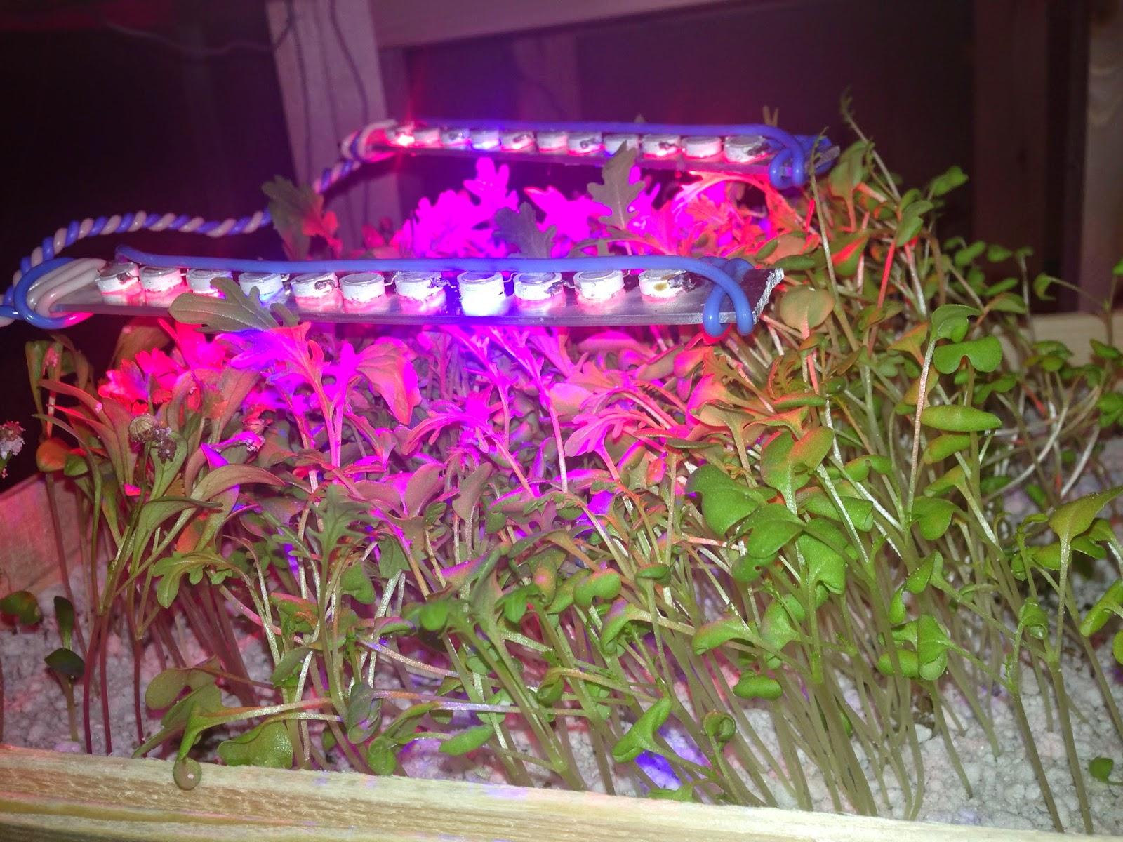 Капуста японская изумрудный узор выращивание 24