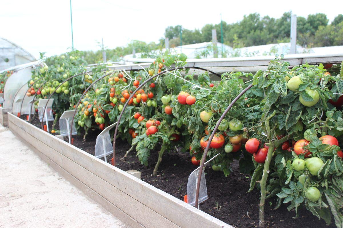 Розовый рай в саду — японский гибридный томат пикн парадайз: агротехника, описание и характеристики сорта