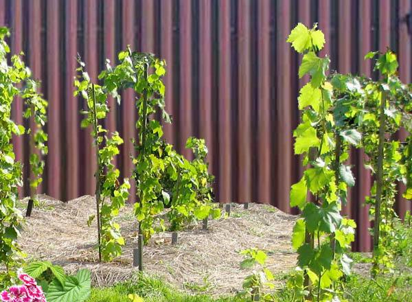 Где лучше посадить виноград на даче