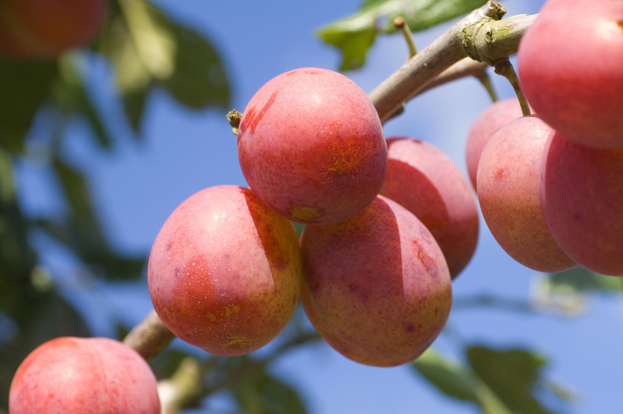 Выращивание гибрида персика и сливы