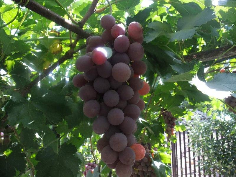 второе фото и описание винограда рута советском