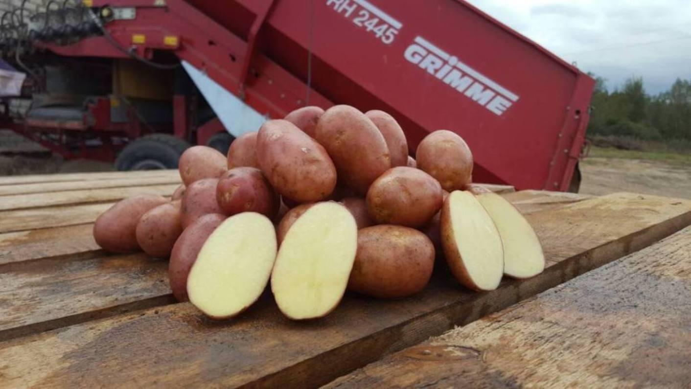 Картофель Кураж: характеристика, посадка и уход