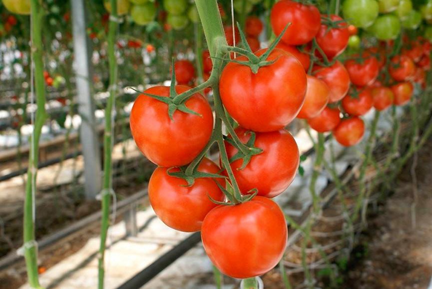 Как ухаживать за комнатным помидором