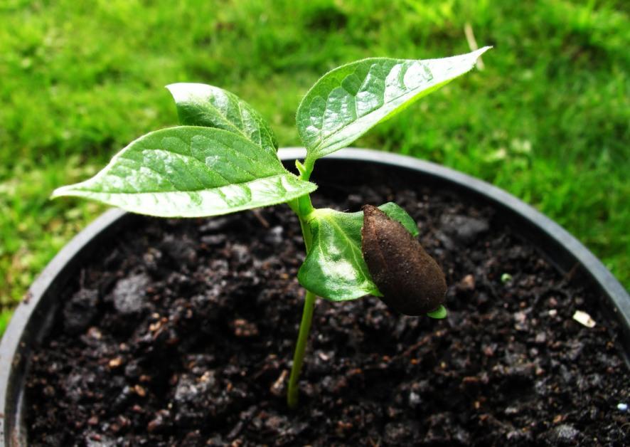 Выращивание хурмы из косточки (37 фото): как вырастить из семечка в домашних условиях, чтобы были плоды
