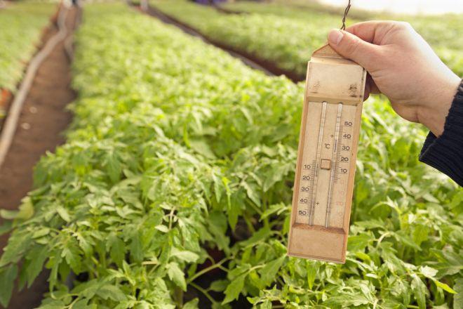 Температура в теплице для помидоров: какие минимальные показатели выдерживают томаты и при каких замерзают в конструкции из поликарбоната