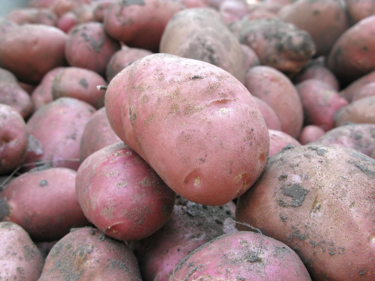 попробуем картофель мерлот описание сорта фото отзывы для