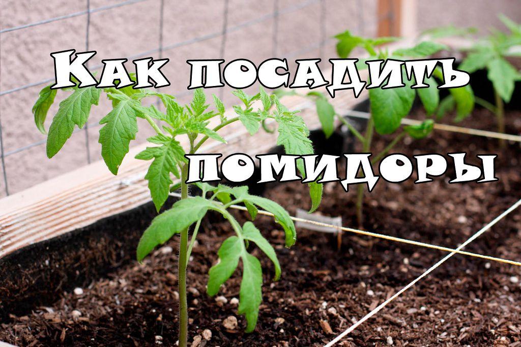 Посадка помидор в теплице расстояние между помидорами