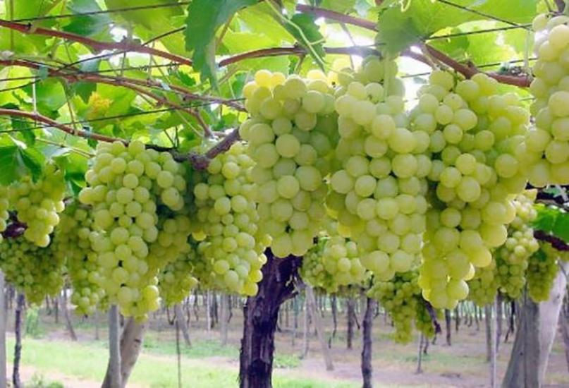 Плевен виноград картинка расту всегда
