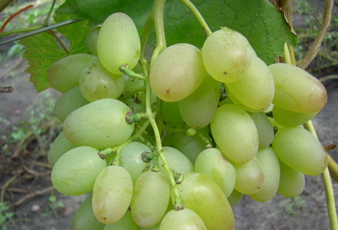 Виноград Элегант описание сорта
