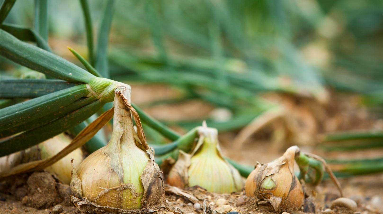 Выращивание репчатого лука: особенности и правила процесса