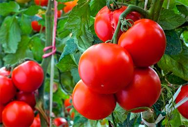 Томат Андромеда (55 фото): характеристика и описание сорта помидоров, золотая и розовая, отзывы, видео