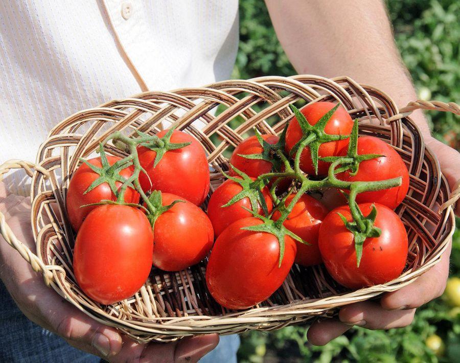 помидоры сорта бенито отзывы с фото восьми