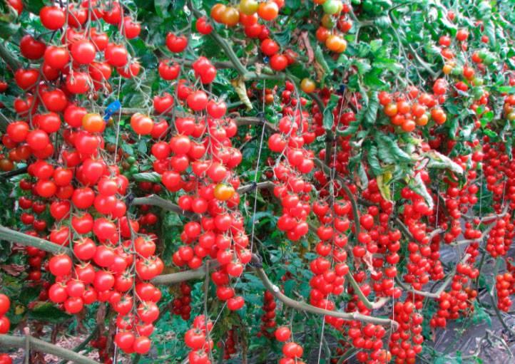 Томат Свит Черри - описание сорта, урожайность, фото и отзывы садоводов