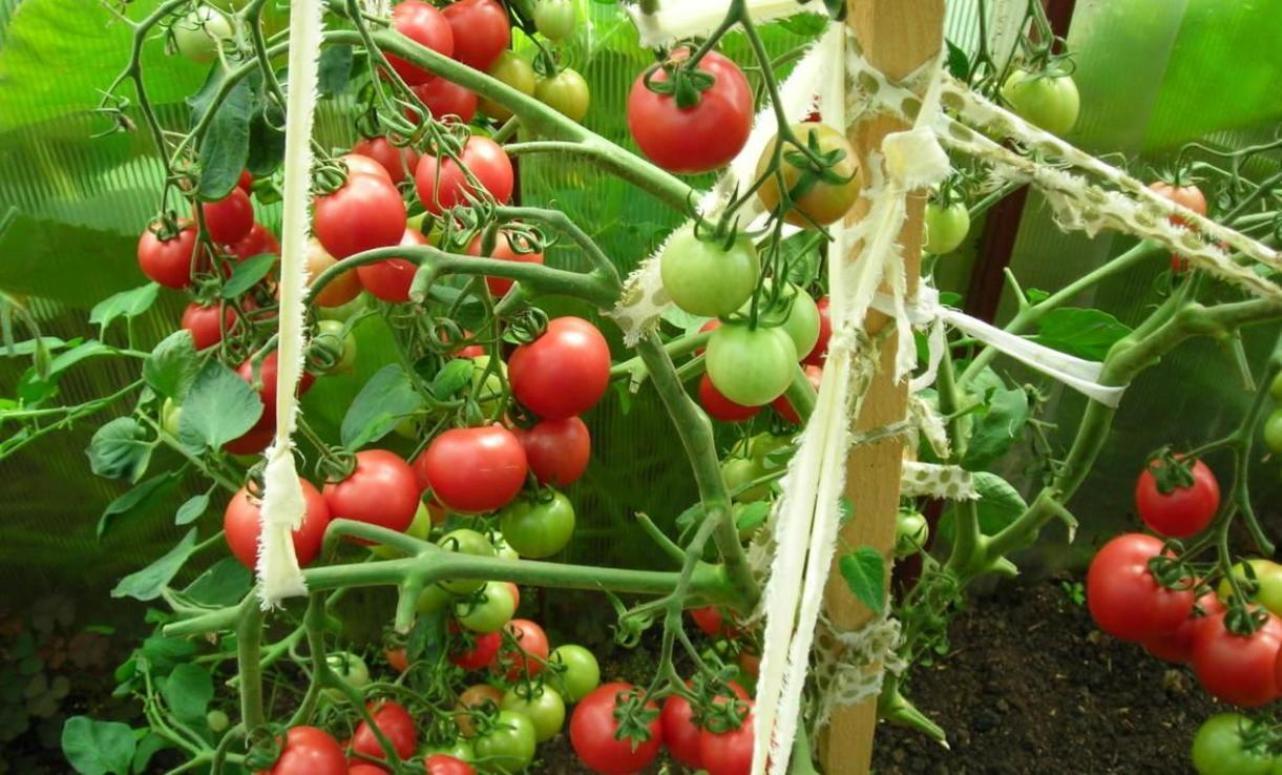 красочный томат мазарини описание сорта фото отзывы спортивный фотограф