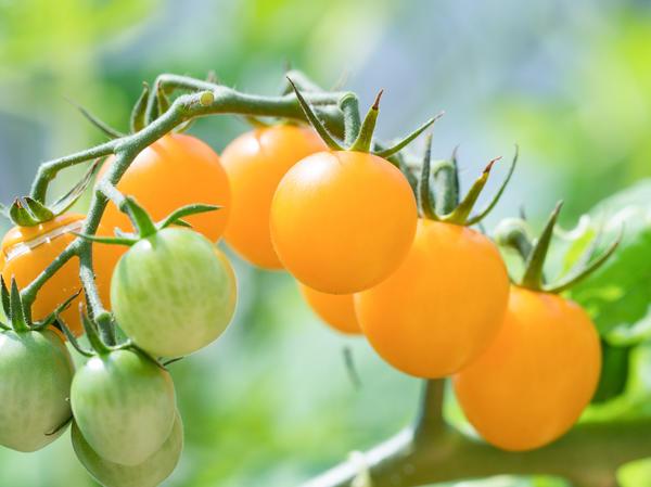 Томат вишня желтая характеристика и описание сорта
