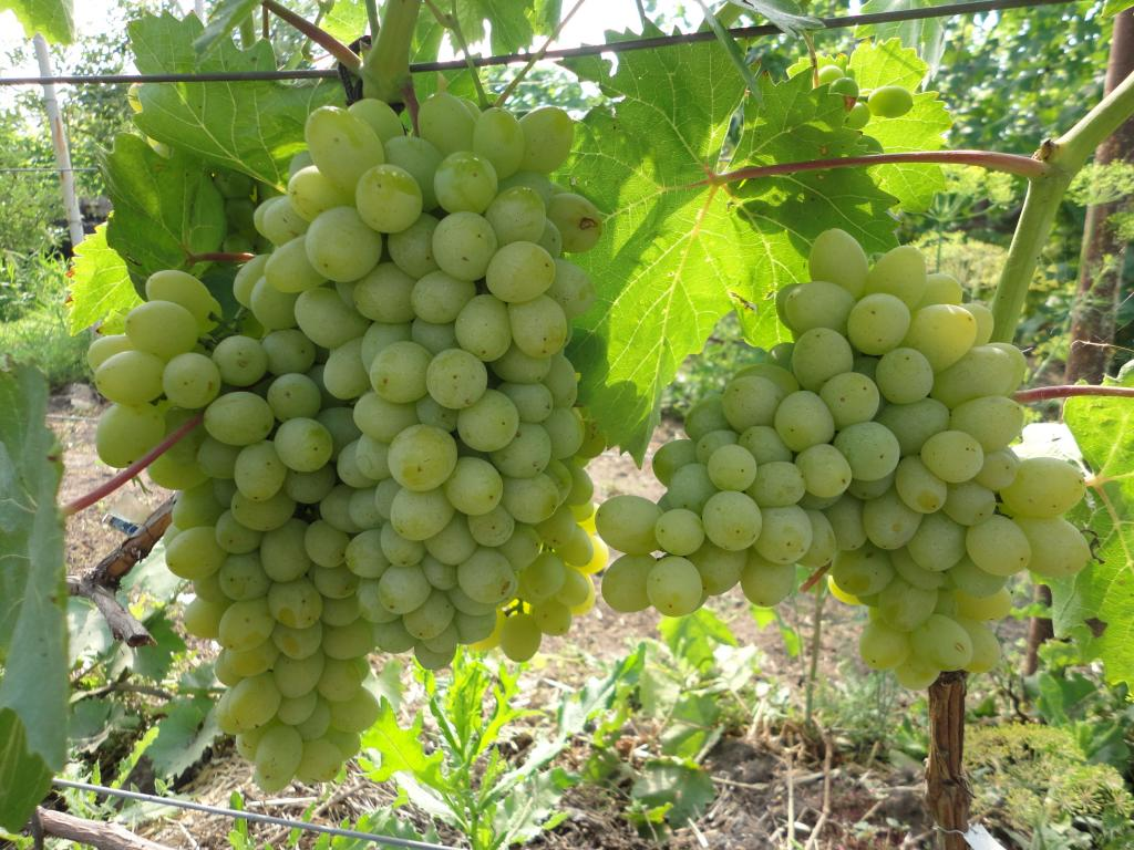 такой все сорта винограда с фото и описанием крапов самый, пожалуй
