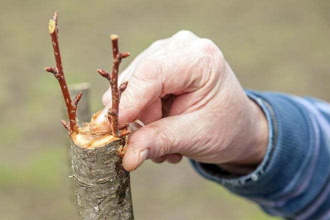 Советы садоводам как правильно привить грушу