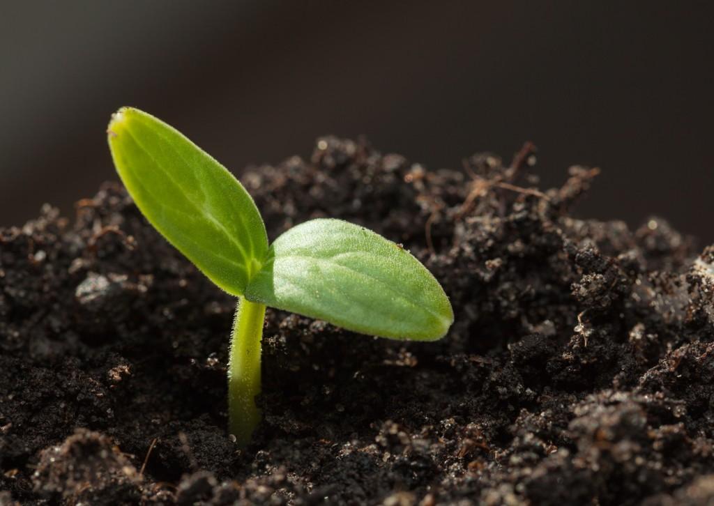 Как прорастить семена огурцов перед посадкой