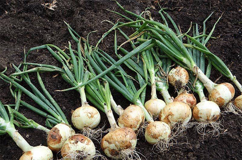 После каких растений можно сажать лук и что посадить после лука