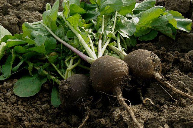 Когда сажать редьку в открытый грунт семенами