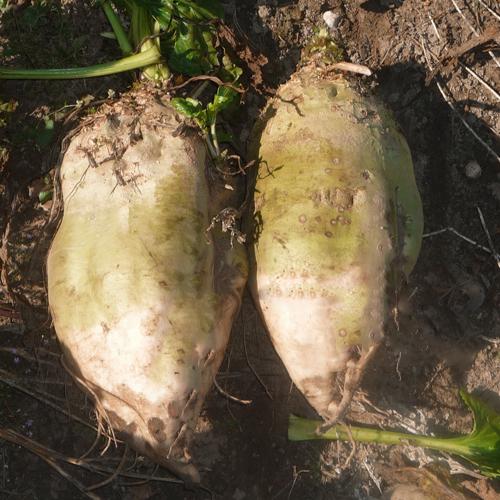 Операции при выращивании кормовой свеклы толстушки