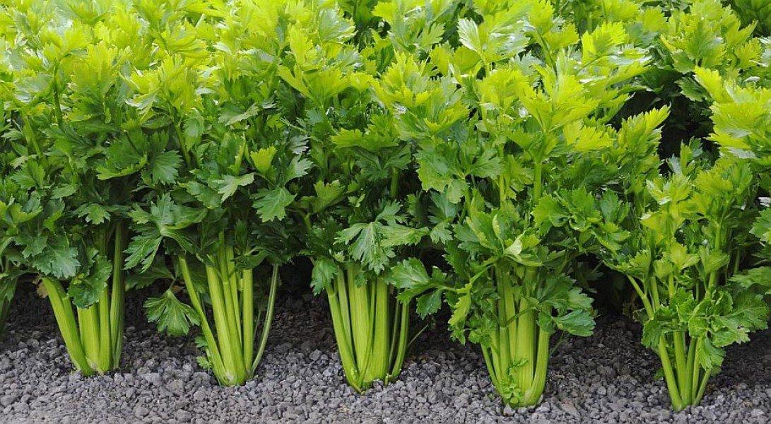 Листовой сельдерей особенности выращивания и лучшие сорта