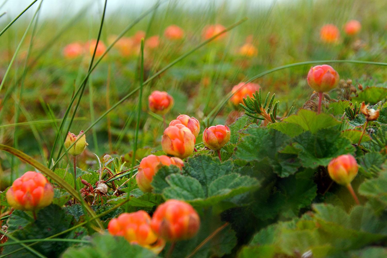 Морошка — полезные свойства и противопоказания, фото ягоды, где растет