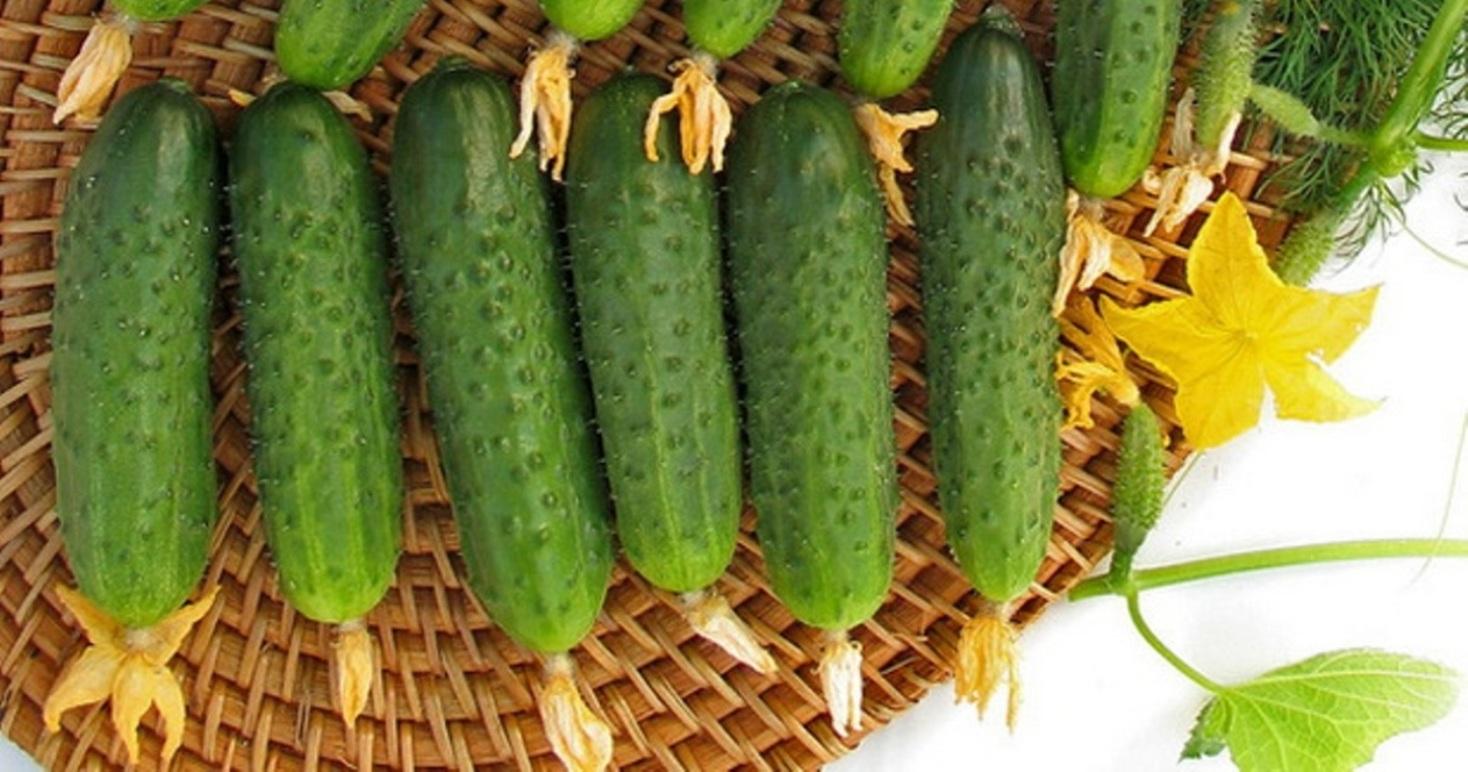 Огурец марьина роща описание сорта выращивание и урожайность с фото