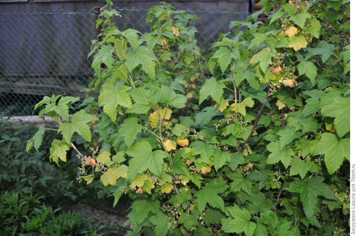 Почему желтеют листья смородины и что делать с кустом