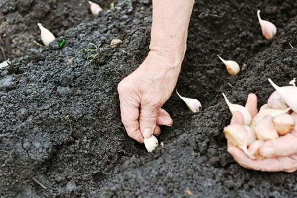 Посадка озимого чеснока осенью: как правильно сажать растение