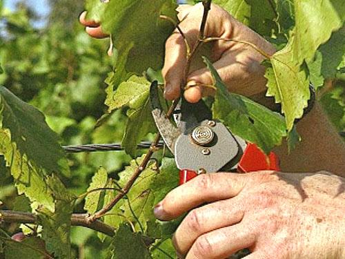 Как правильно ухаживать за виноградом весной