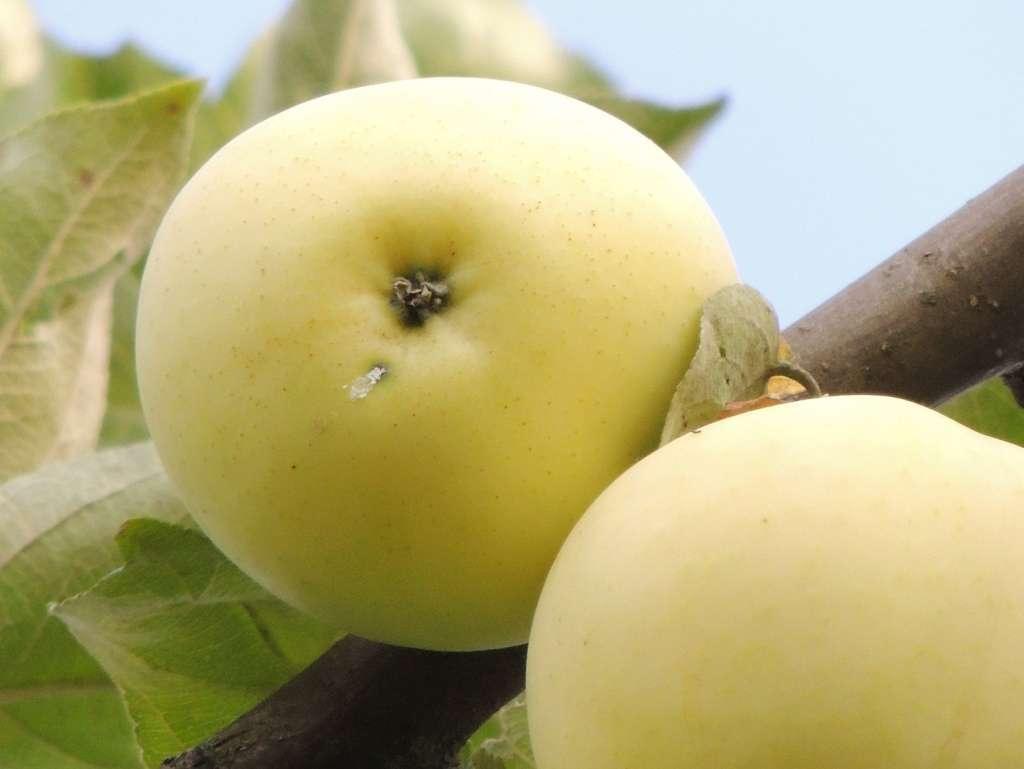 Картинка яблони белый налив