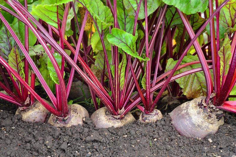С чем можно сажать свеклу на одной грядке совместимость с луком и другими овощами