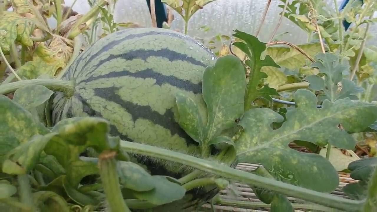 Бизнес план выращивание арбузов 69